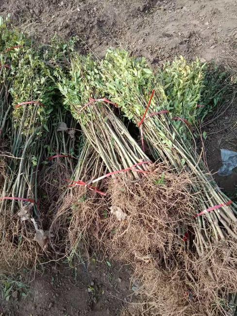 黑籽石榴树苗