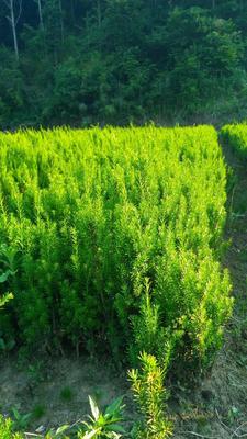 陕西省汉中市西乡县曼地亚红豆杉 0.5米以下
