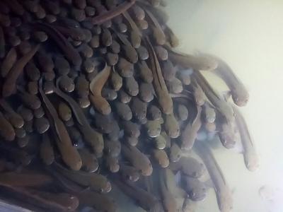 广西壮族自治区贵港市港北区月鳢 人工养殖 0.5公斤以下