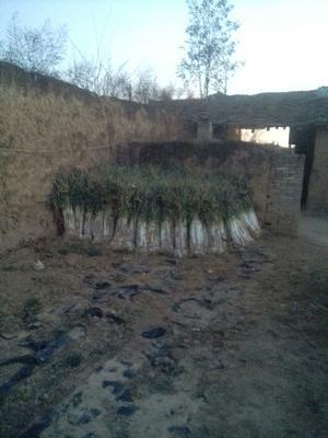 陕西省渭南市澄城县长白大葱 2cm左右 40cm以上 毛葱