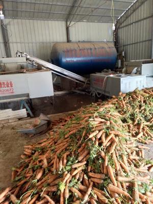 河南省开封市祥符区三红七寸参胡萝卜 15cm以上 2两以上 5cm以上