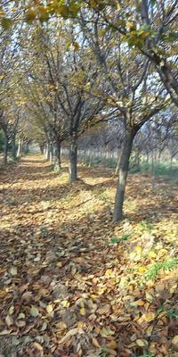 陕西省西安市周至县晚樱 16~18公分 3.5米~5米
