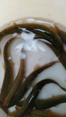 湖北省湖北省仙桃市商品泥鳅 35尾/公斤 15cm以上 人工养殖