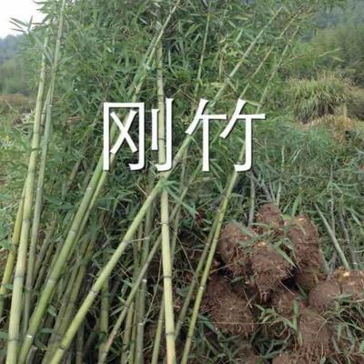 江西省鹰潭市贵溪市刚竹