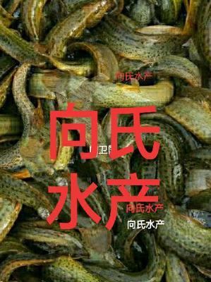 湖北省湖北省仙桃市台湾泥鳅 35尾/公斤 10-15cm 人工养殖