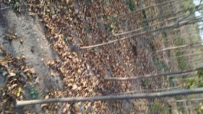 山东省滨州市沾化区老式白蜡 2.5~3米
