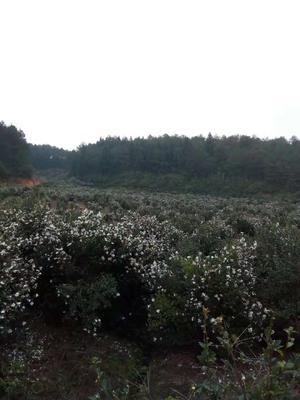 福建省三明市沙县白花茶山茶油