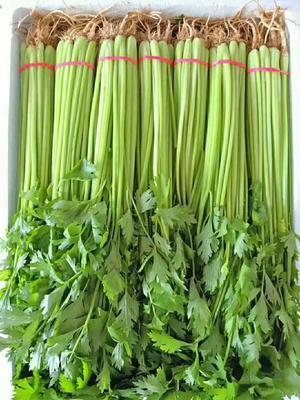 河北省邯郸市永年县香芹 45~50cm 大棚种植 0.5斤以下