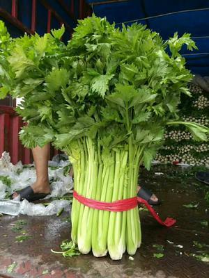 山东省潍坊市诸城市玻璃脆芹菜 60cm以上 露天种植 0.5~1.0斤