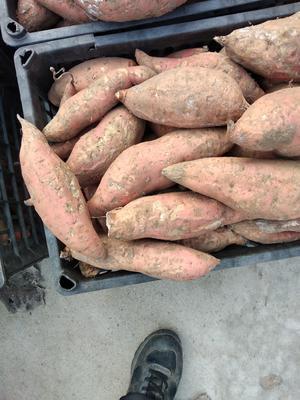 山东省潍坊市潍城区烟薯25 红皮 6两~1斤
