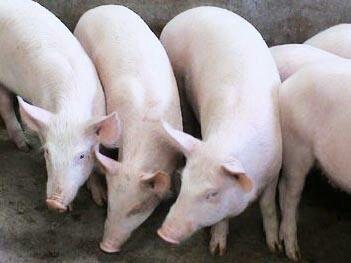山东省烟台市栖霞市长白猪 300斤以上