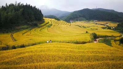 江西省赣州市崇义县 稻花香大米 中稻 梗米 一等品