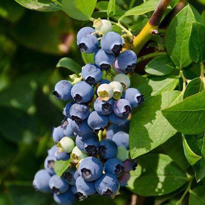 这是一张关于蓝丰蓝莓苗的产品图片