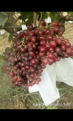 山东省菏泽市巨野县红宝石葡萄 5%以下 1次果 1.5- 2斤