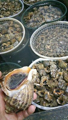 这是一张关于海角螺 野生 3-5只/公斤的产品图片