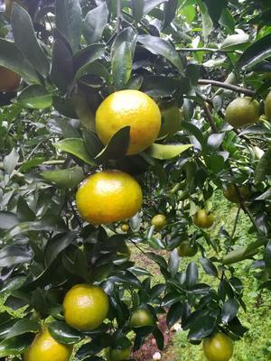 这是一张关于芦柑 6.5 - 7cm 2 - 3两的产品图片