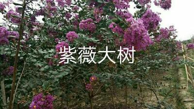 湖南省怀化市麻阳苗族自治县紫薇树
