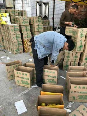 广东省韶关市仁化县皇帝柑 5 - 5.5cm 1.5 - 2两