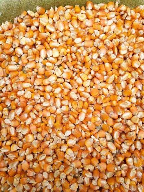 玉米干粮 霉变≤2% 杂质很少