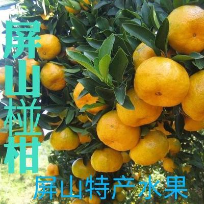 四川省宜宾市屏山县椪柑 7 - 7.5cm 3两以上