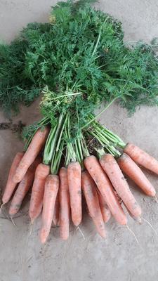 河南省开封市通许县孟德尔胡萝卜 15cm以上 3两以上 4~5cm