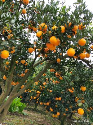 这是一张关于金堂脐橙 70-75mm 4-8两的产品图片