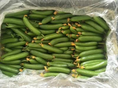 山东省青岛市平度市水果黄瓜 18cm以下 干花带刺