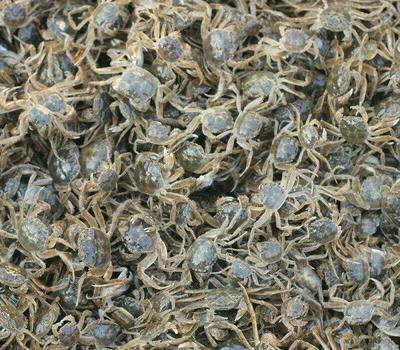 这是一张关于青蟹苗的产品图片