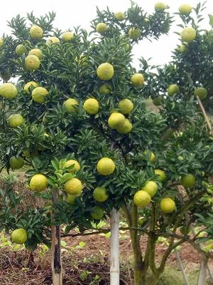 这是一张关于黄金贡柚苗的产品图片