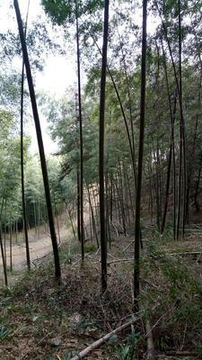 这是一张关于湖南冬笋 17~21cm 鲜笋的产品图片