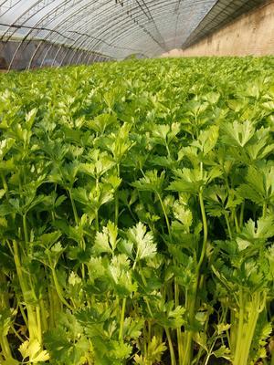 安徽省淮北市相山区玻璃脆芹菜 50~55cm 大棚种植 0.5斤以下