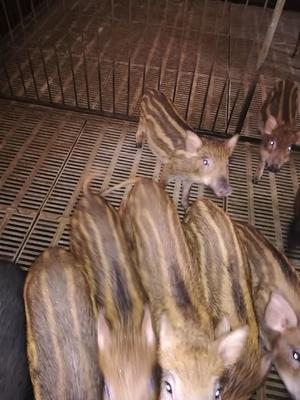 安徽省滁州市凤阳县生态野猪 20-30斤 统货