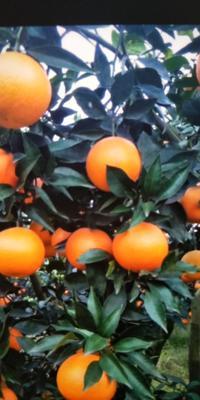 这是一张关于爱嫒38号果冻橙 65 - 70mm 4-8两的产品图片