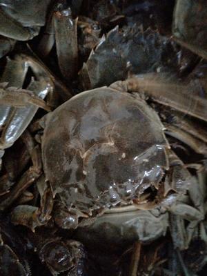 这是一张关于兴化螃蟹 3.0-3.5两 公蟹的产品图片