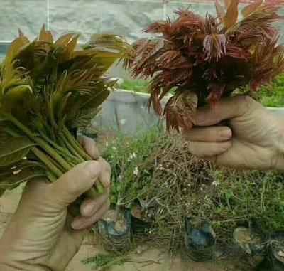 泰山香椿苗 2公分以下