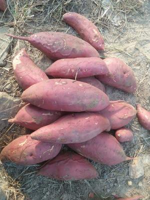 这是一张关于西瓜红红薯 红皮 6两~1斤的产品图片