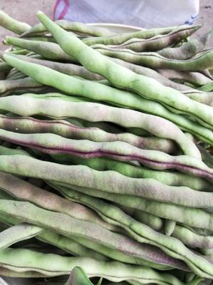 广东省茂名市电白区紫花四季豆