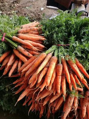 山东省聊城市东昌府区三红七寸参胡萝卜 15cm以上 4两以上 4~5cm