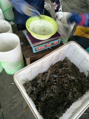 这是一张关于阳澄湖大闸蟹 3.0-3.5两 母蟹的产品图片