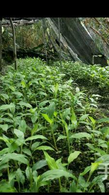 四川省成都市邛崃市草果苗 丛生苗 0.5米以下