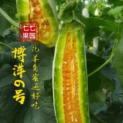 山东省聊城市东昌府区羊角蜜甜瓜 0.5斤以上