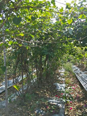 广东省佛山市三水区绿樱三角梅 2~2.5米