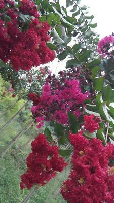 四川省南充市蓬安县红火箭紫薇