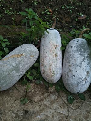 云南省西双版纳傣族自治州景洪市小香冬瓜 2斤以上 地冬瓜