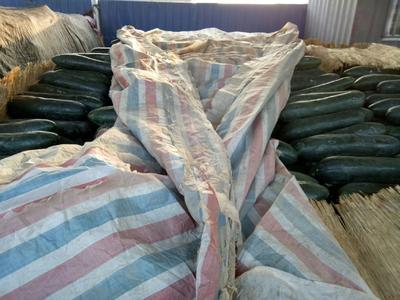 河南省濮阳市华龙区黑皮冬瓜 15斤以上 黑皮