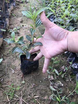 福建省漳州市龙海市巴西野牡丹 2cm以下 4cm以下 0.5米以下