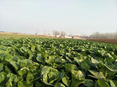 河北省邯郸市丛台区速生小白菜 30公分以上
