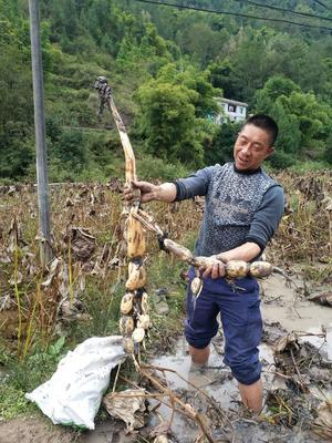 重庆万州区泰国花奇莲 11-13cm 10~15cm