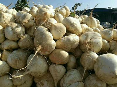 湖北省天门市天门市扁球型品种 0.5斤以下