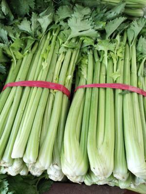 山东省滨州市阳信县法国皇后芹菜 55~60cm 大棚种植 0.5~1.0斤